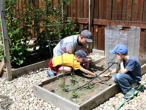 Planting zucchini in kids' garden
