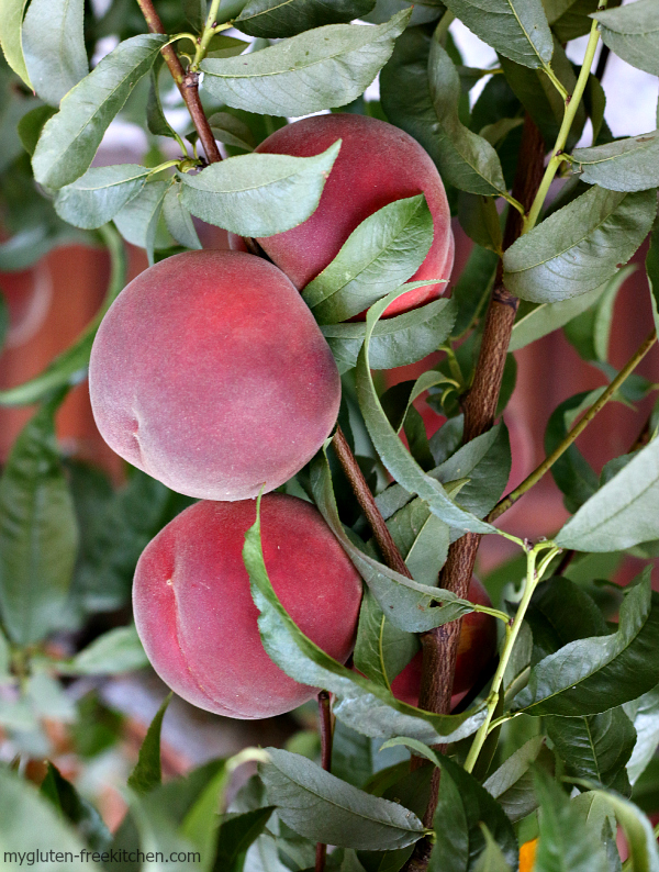 Perfect fuzzy peaches on our backyard tree!